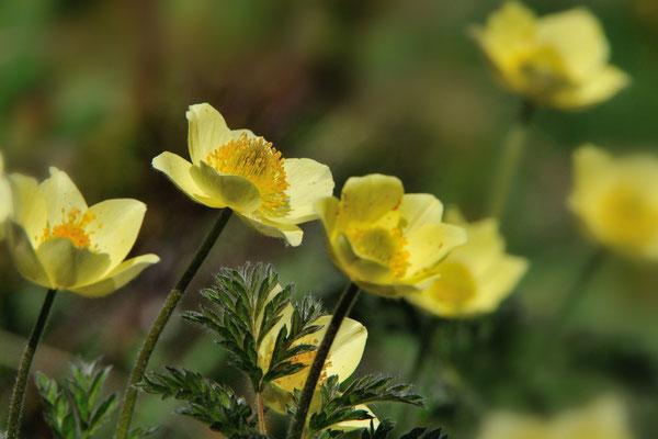 Gelbe Alpen-Kuhschelle oder -Küchenschelle (Pulsatilla alpina subsp. apiifolia); Grimselpassstrasse; 13.7.13