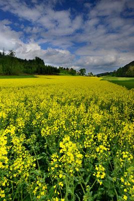 Rapsfeld im Luzerner Hinterland; 15. Mai 2016 (danke Flossi)