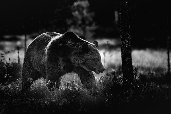 Bär im Finnischen Herbstwald; Viiksimo, 8. September 2019