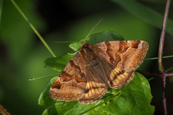 Braune Tageule (Euclidia glyphica); Isenthal Buchenwald, 13. Juli 2020