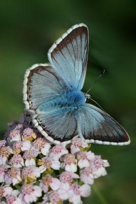 84 Silbergrüner Bläuling (Lyandra cordion);Tschlin GR; 31-7-2012