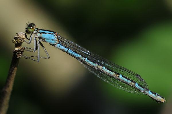 Une visite au jardin de Musette; Azurjungfer; 17. Juni 2012