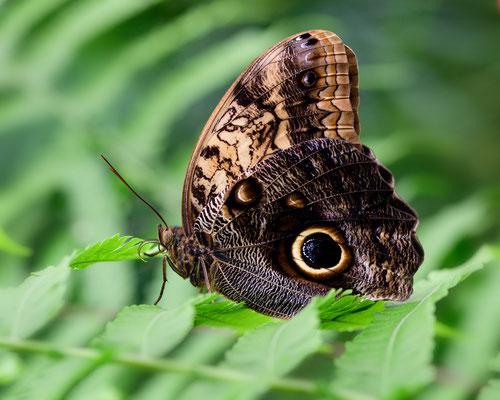 Exotische Schmetterlinge im 'Parc Floral von Orléans