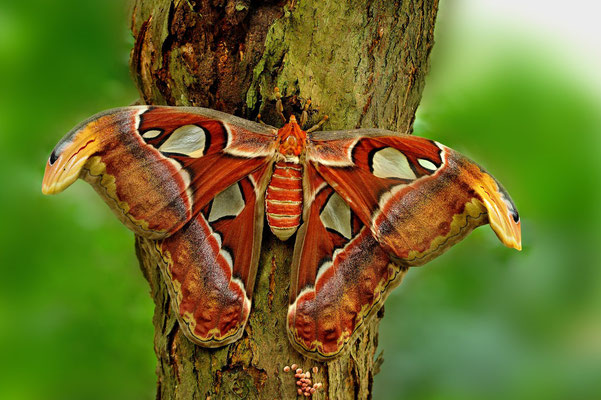 (weiblicher) Atlasfalter (Attacus atlas)