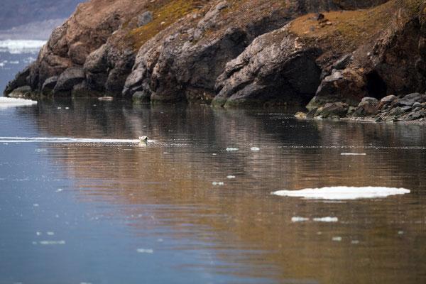 Über Nacht auf den 22. September 2017 schippern wir weiter Richtung Ziel Longyearbyen: Auf einem letzten Abstecher in den Nord- bzw. Eikmanfjord sehen wir gerade, wie ein Eisbär die Fjordüberquerung abschliesst; die halbe Dorsch-Mahlzeit noch im Hals...