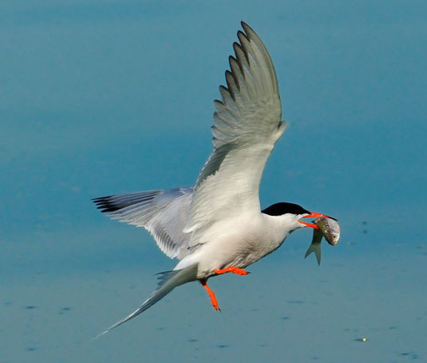 Fluss-Seeschwalbe (Sterna hirundo)