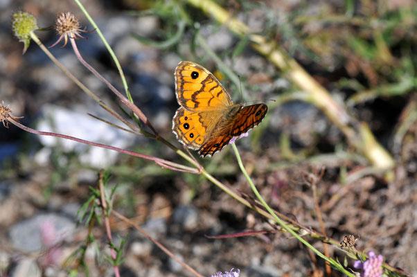 163 Mauerfuchs (Lasiommata megara); Lötschberg Südrampe
