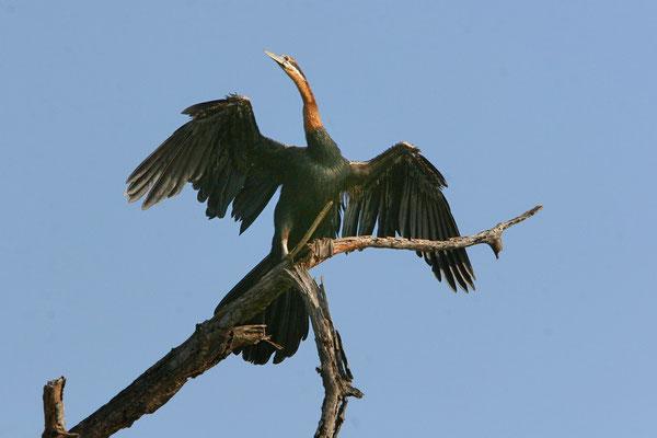 Afrikanischer Schlangenhalsvogel (Anhinga melanogaster rufa)