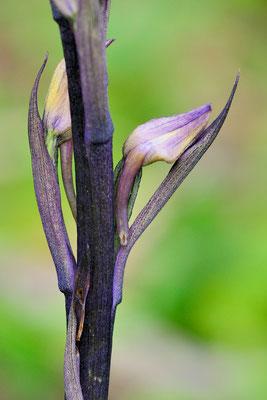 Dingel (Limodorum abortivum);  23. Mai 2015