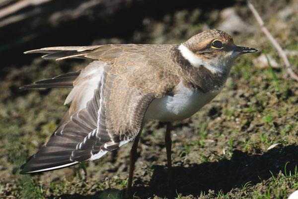 Flussregenpfeifer (Charadrius dubius); La Sauge; 11-8-2012