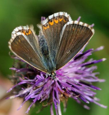 103 Himmelblauer Bläuling (Polyommatus bellargus); Ausserberg VS