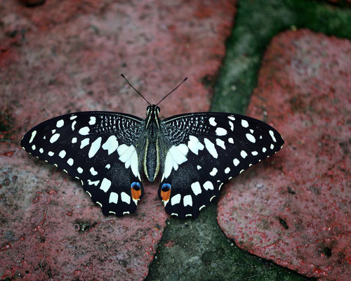 Exotische Schmetterlinge im 'Parc Floral von Orléans; Papilio erithonioides; endemisch vorkommender Schwalbenschwanz-Schmetterling der Afrotropis