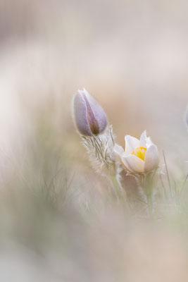 Frühlingskuhschelle (Pulsatilla vernalis var. alpestris)