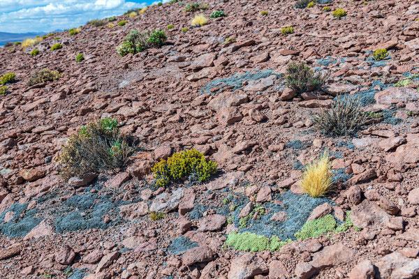 Pionierpflanzen im Altiplano auf 4600 müM