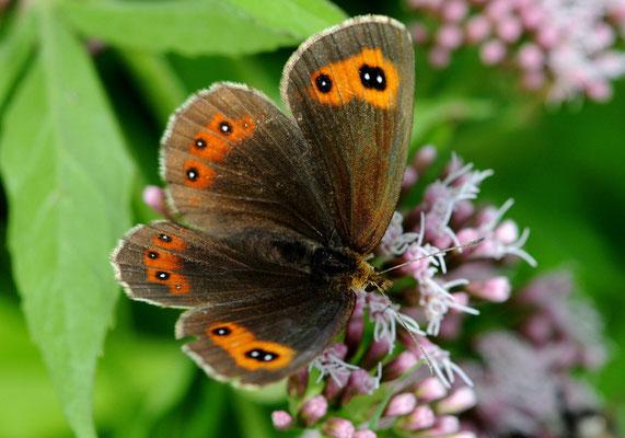 104 Graubindiger Mohrenfalter (Erebia aethiobs); Ausserberg VS
