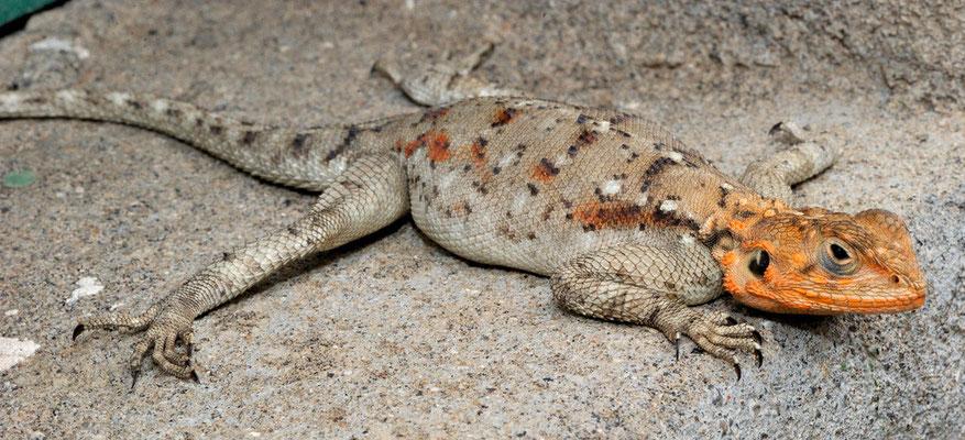 Boden Agame (Agama aculeata), Olduvai Ngorongoro, Tansania