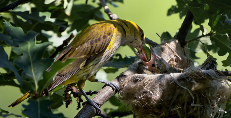 29 - Pirol-Weibchen füttert Kücken