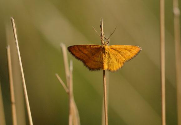 118 Orangegelber Magerrasen-Zwergspanner (Idaea flaveolaria)