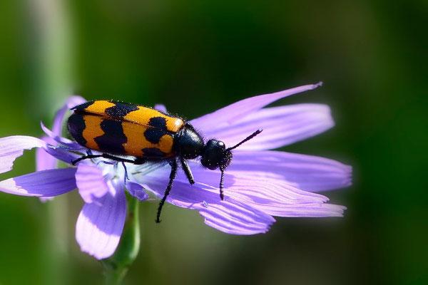 Westalpen-Lattich (Lactuca tenerrima) mit Gemeinem Bienenkäfer (Trichodes apiarius)