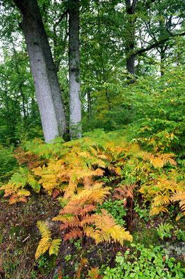 In den Wäldern zwischen dem Burgund und der Loire färbt sich das Farn unter den Eichenbäumen