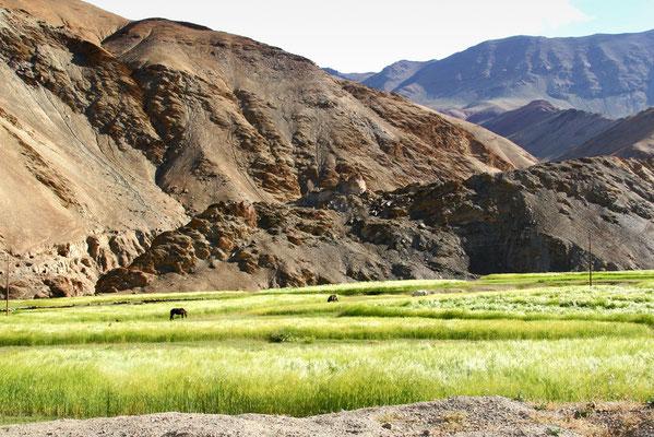 Leh-Manali Transhimalaya: Kornfeld bei Rumtse 4300m