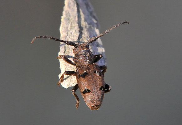 Herophila tristis (Canale Piemont; 2. Mai 2011)