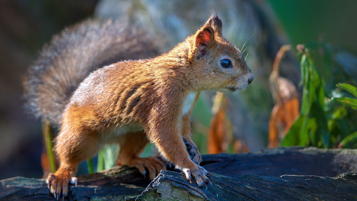 Eurasisches Eichörnchen, Viiksimo, 7. September 2019