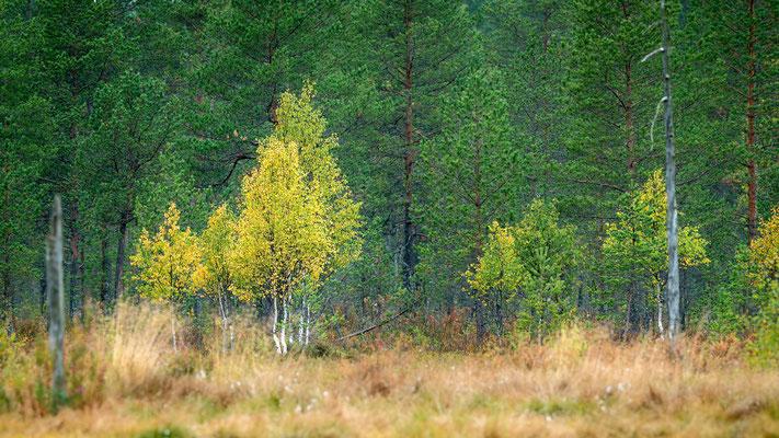 Einsetzende Herbstfärbung im borealen Wald in Finnland