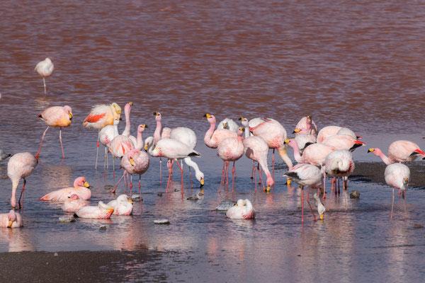 Drei Flamingo-Arten bei der Lagune: Anden-Flamingo (Gelbfussflamingo), Chile-Flamingo und James-Flamingo (mit der gelben Schnabelbasis)
