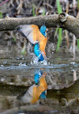 Eisvogel Pirouette