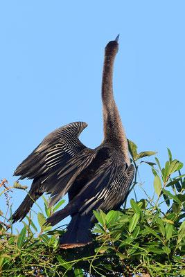 Amerikanische Schlangenhalsvogel (Anhinga anhinga); Pantanal Juli 2016