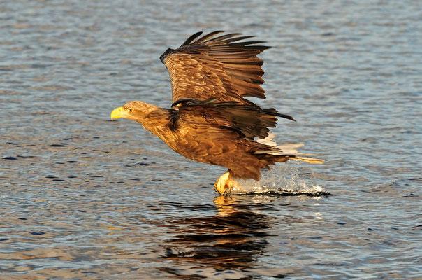 Weissschwanz-Seeadler