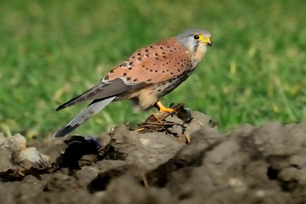 Turmfalke   Falco tinnunculus   ; Chrümmi; 01-14-12