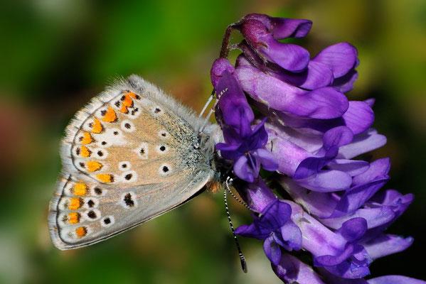 88 Grosser Sonnenröschen-Bläuling (Polyommatus artaxerxes); Motta Naluns GR; 31-7-2012