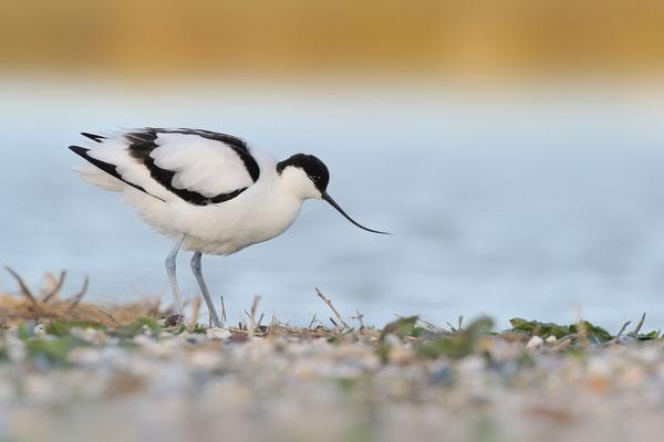 Säbelschnäbler (Recurvirostra avosetta); Texel; 14.4.2014
