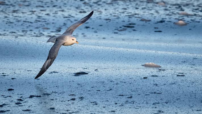 manchmal driften auch wir wieder etwas wag und die Oberfläche erscheint wie eine dicke Suppe; Eissturmvögel sind stets zugegen
