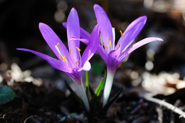 Frühlings-Lichtblume