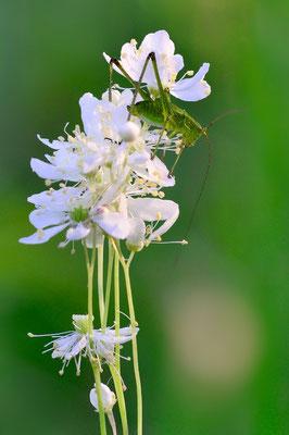 Kleine Mädesüß (Filipendula vulgaris), auch Knolliges Mädesüß<, Hessenberg; 28. Juni 2015