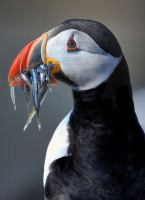 Papageientaucher (Fratercula arctica), Farne Islands England