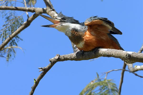Rotbrustfischer (Megaceryle torquata); Pantanal Juli 2016
