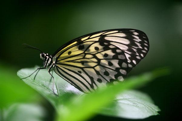Exotische Schmetterlinge im 'Parc Floral von Orléans; Weiße Baumnymphe (Idea leuconoe) ist ein großer weißer Schmetterling (Tagfalter) mit schwarzer Zeichnung; Edelfalter (Nymphalidae),