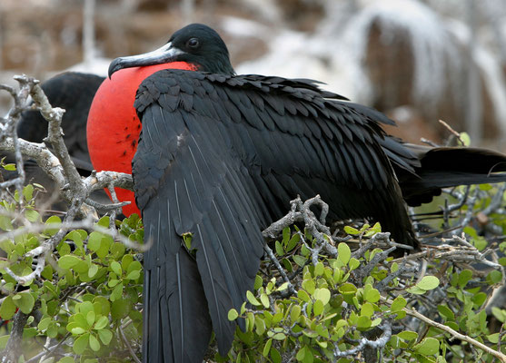 Fregattvogel, Galapagos Ecuador