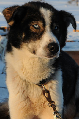 Husky Schlittenhund bei Tagweache