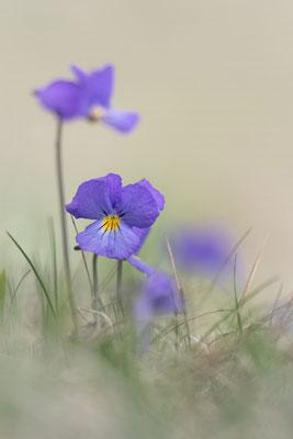 Langsporn-Veilchen (Viola calcarata),  27. Mai 2017 VS