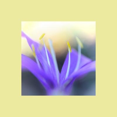 Frühlingslichtblume (Colchicum bulbocodium),