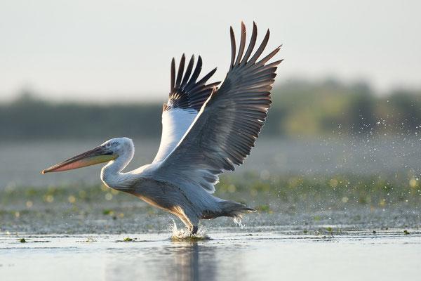 Kreuaskopfpelikan beim Start im Donaudelta