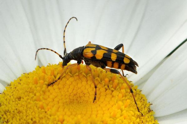 Gefleckte Schmalbock (Rutpela maculata, früher Strangalia maculata)