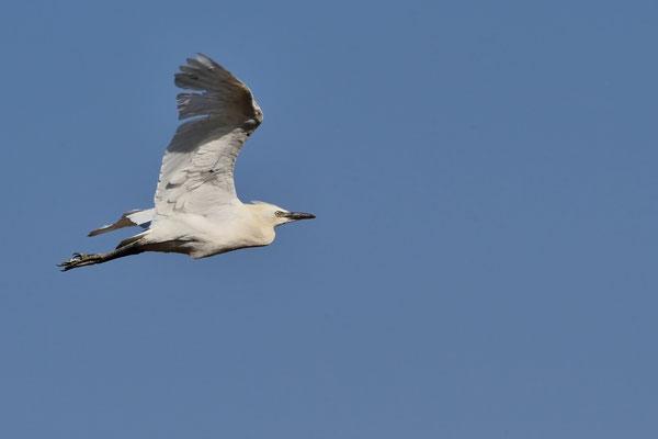 Kuhreiher (Bubulcus ibis); Arrecife; 7. Februar 2016
