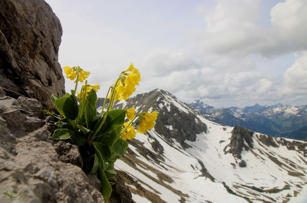Alpenaurikel