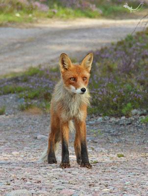 Fuchs in der Finnmark (Schweden)